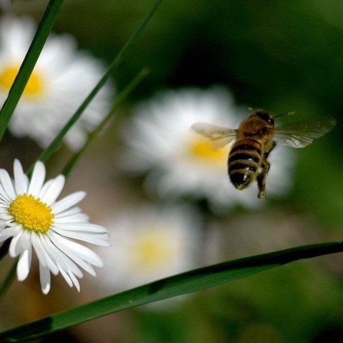 Bee flying to daisy
